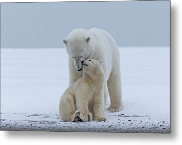 Polar Bear Metal Print by Sylvain Cordier