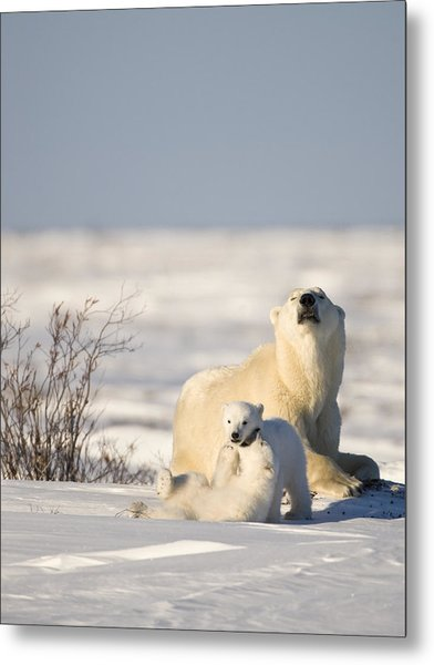 Polar Bear Watches Cubs Play Metal Print