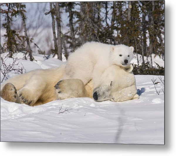 Polar Cub Hugs Its Sleeping Mother Metal Print