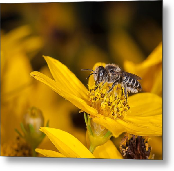 Pollenating Coreopsis Flower Metal Print