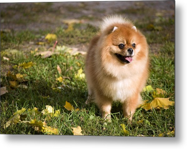 Pomeranian Dog Metal Print