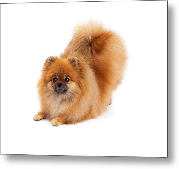 Pomeranian In Downdog Position Metal Print
