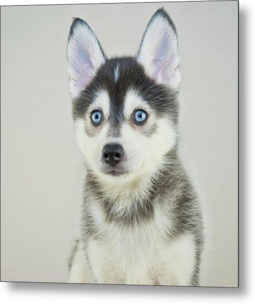 Pomsky Puppy By Stockimage