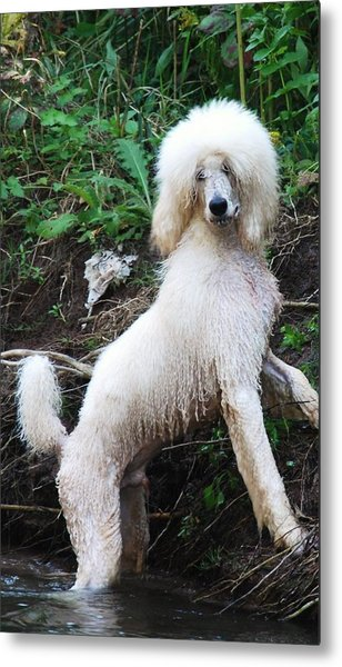 Poodle In The Forest Metal Print
