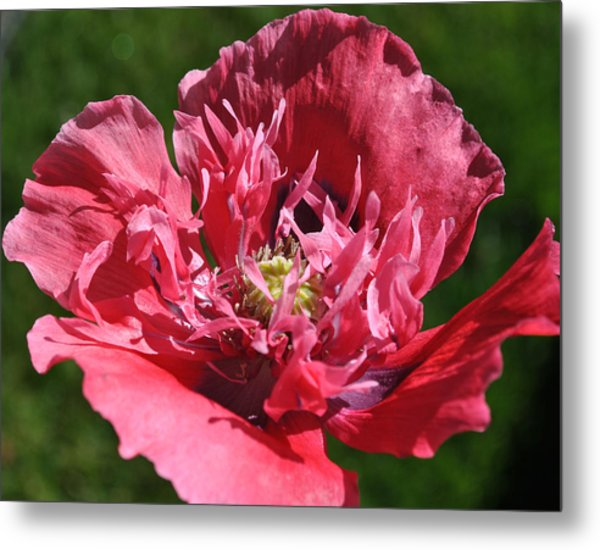 Poppy Pink Metal Print