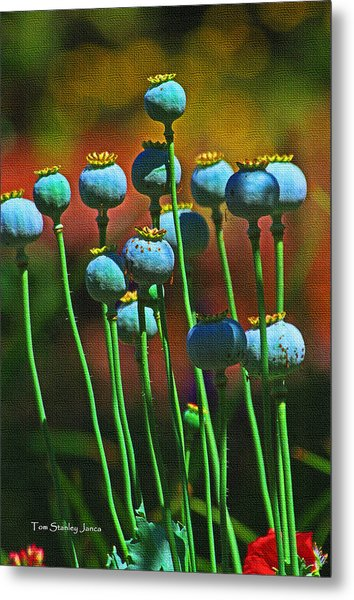Poppy Seed Pods Metal Print