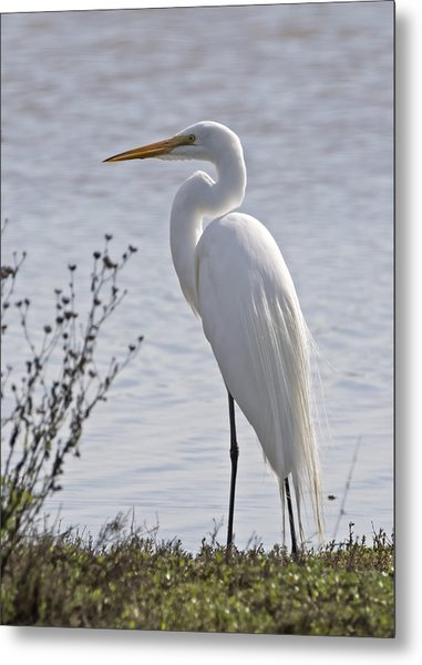 Portrail Of An Egret Metal Print