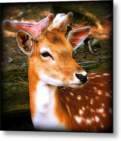 Portrait Male Fallow Deer Metal Print