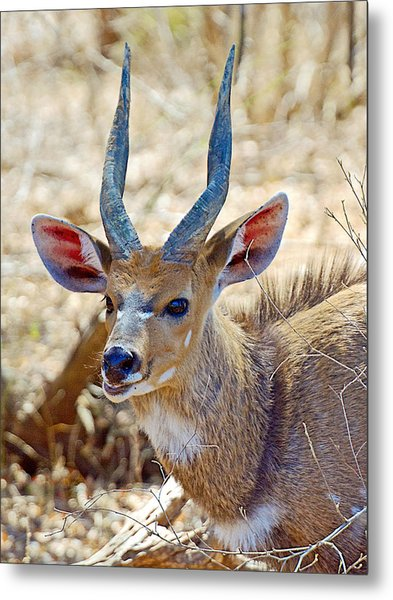 Portrait Of A Bushbuck In Kruger National Park-south Africa  Metal Print