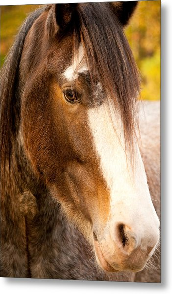 Portrait Of A Clydesdale Metal Print