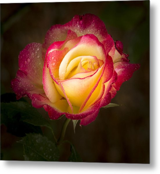 Portrait Of A Double Delight Rose Metal Print