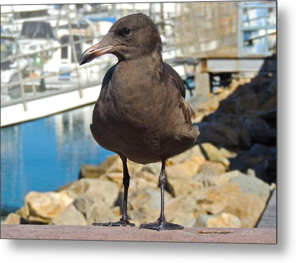 Portrait Of A Grumpy Gull Metal Print by Brian D Meredith