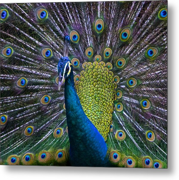 Portrait Of A Peacock Metal Print