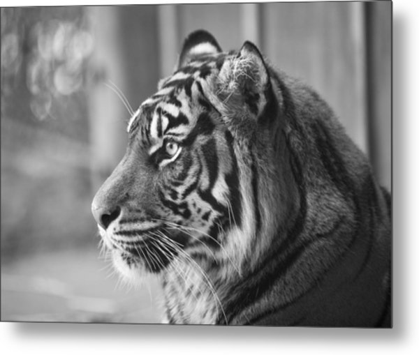 Portrait Of A Sumatran Tiger Metal Print