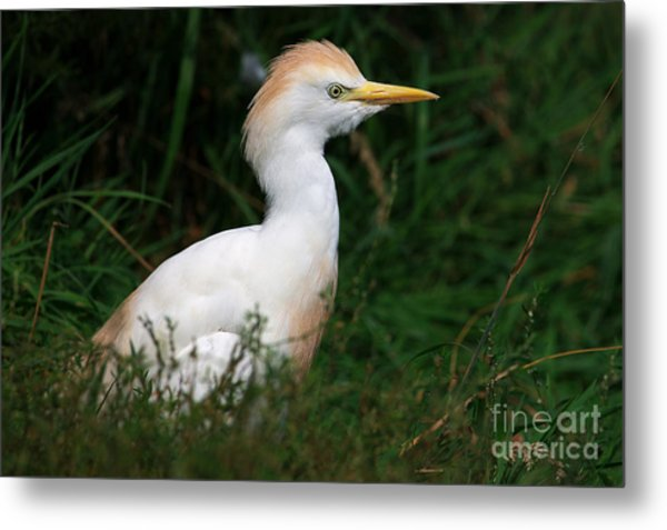 Portrait Of A White Egret Metal Print