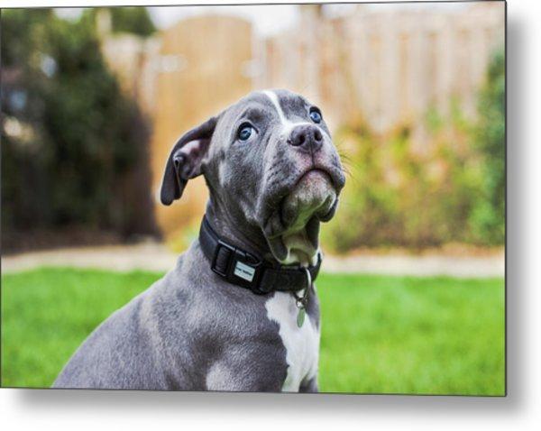 Portrait Of An American Bulldog Puppy Metal Print by Veravanoudheusden