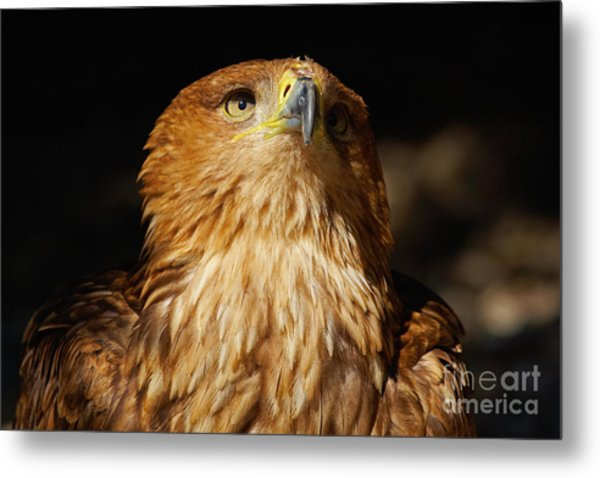 Portrait Of An Eastern Imperial Eagle Metal Print