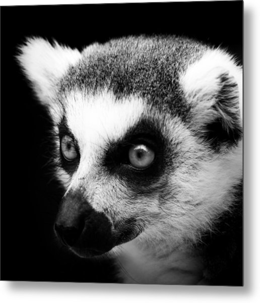 Portrait Of Lemur In Black And White Metal Print