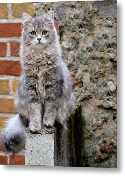 Portrait Of Siberian Cat Sitting Metal Print by Jean Michel Segaud / Eyeem