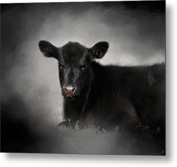Portrait Of The Black Angus Calf Metal Print