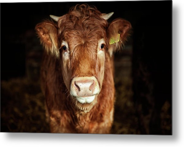 Portrait Of Young Cow Metal Print by T-lorien
