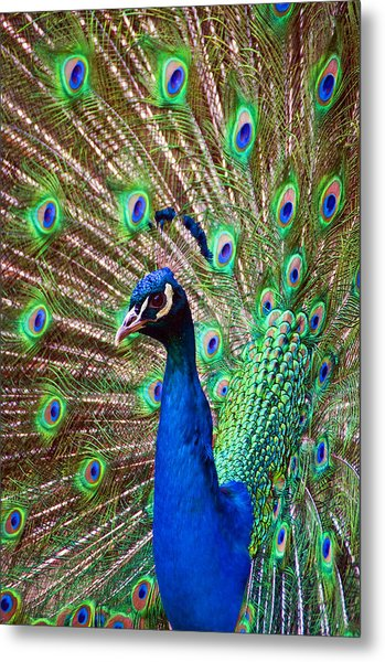 Portrait Peacock Metal Print