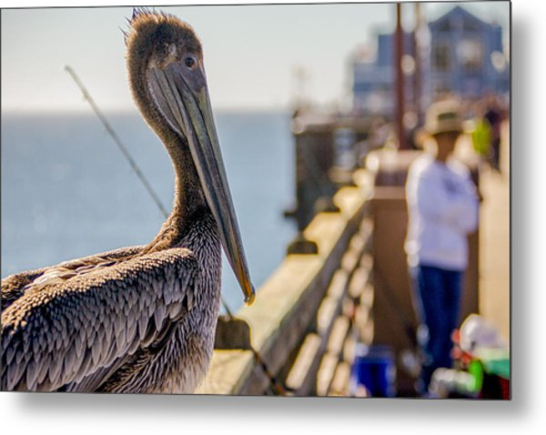 Posing Pelican Metal Print