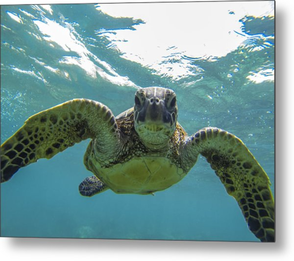 Posing Sea Turtle Metal Print