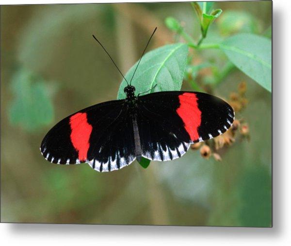 Postman Butterfly Metal Print by Nigel Downer