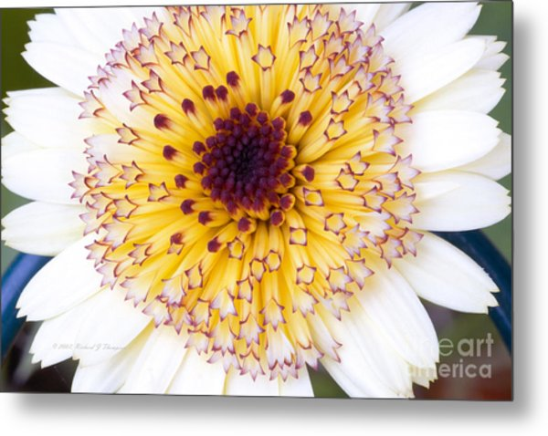 Pot Marigold Citrus Smoothies Metal Print