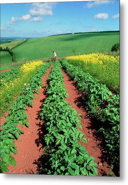Potato Plants Flanked By Mustard On Organic Farm Metal Print