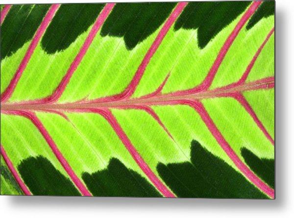 Prayer Plant Leaf Abstract Metal Print by Nigel Downer