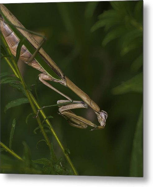 Praying Mantis 003 Metal Print