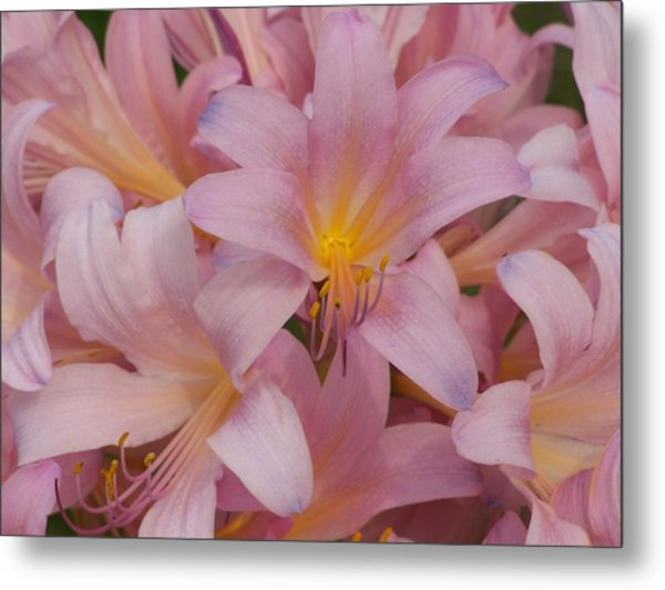 Pretty In Pink Metal Print by Virginia Forbes