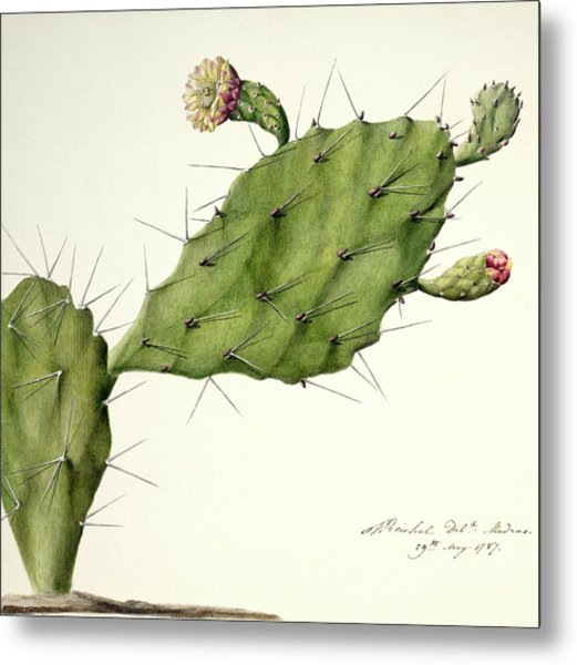 Prickly Pear (opunita Fiscus-indica) Metal Print by Natural History Museum, London/science Photo Library