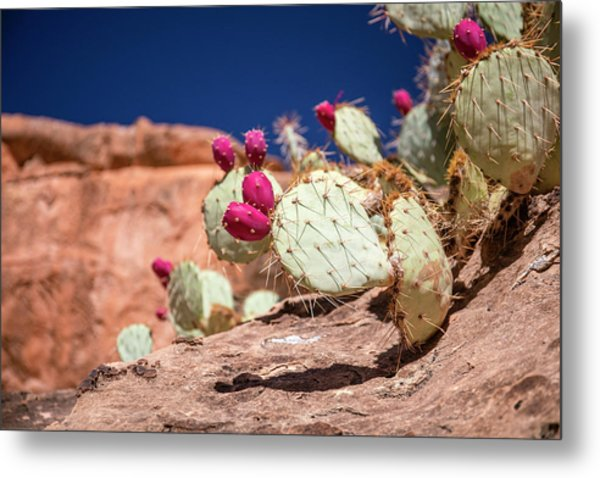 Prickly Pear (opuntia Sp.) In Fruit Metal Print by Michael Szoenyi