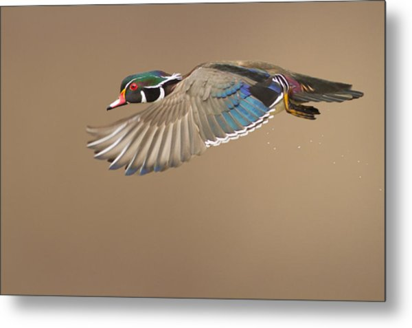 Probably The Most Beautiful Of All Duck Species Metal Print