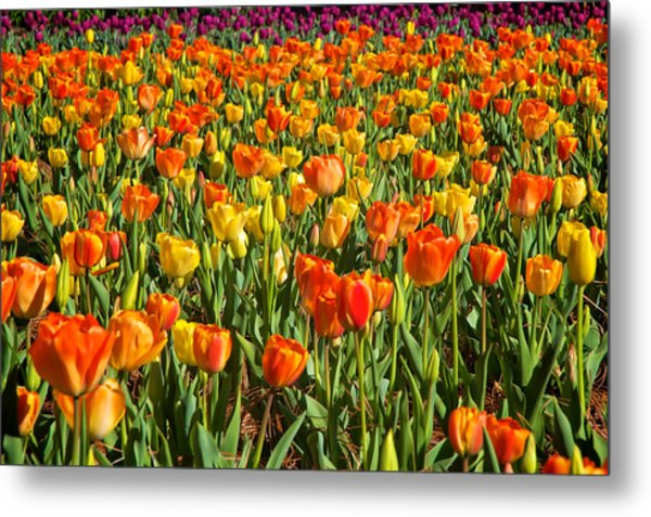 Metal Print featuring the photograph Profusion Of Tulips Biltmore Estate Nc by Mary Lee Dereske
