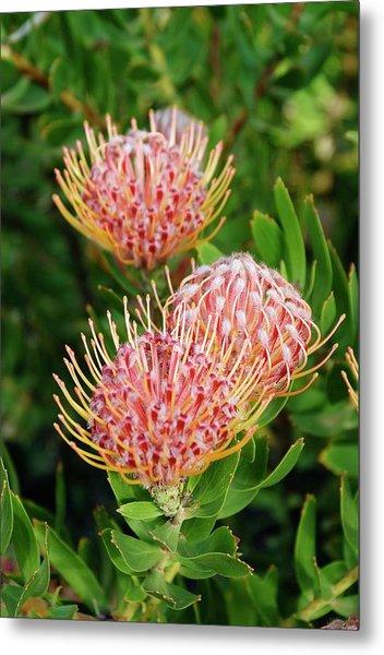 Protea (leucospermum Cordifolium) Metal Print