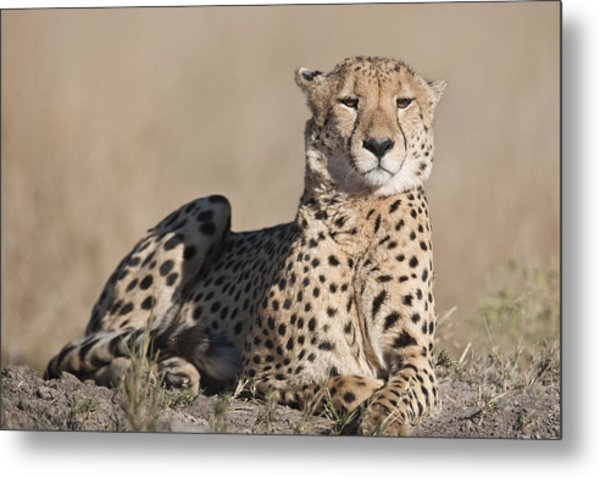 Proud Cheetah Metal Print