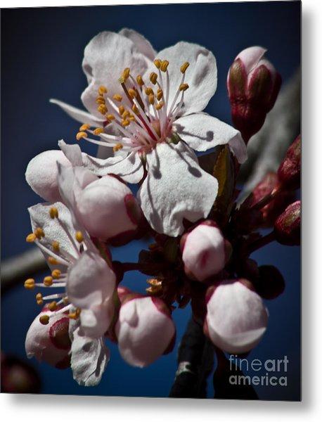 Prunus Armeniaca In Bloom Metal Print