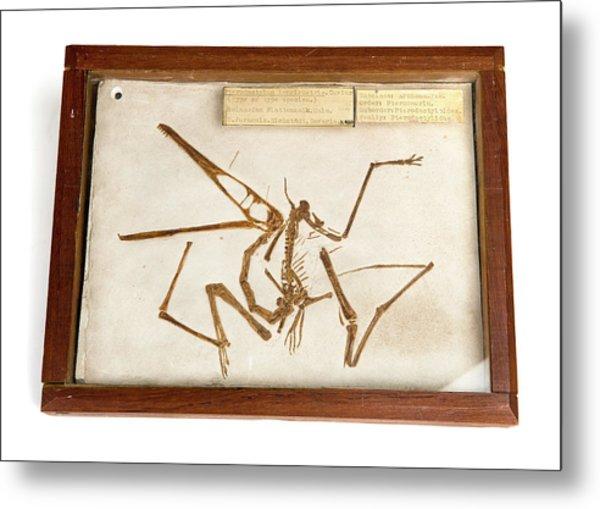 Pterodactyl Fossil Cast Metal Print