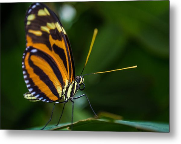 Pteronymia Perched Metal Print