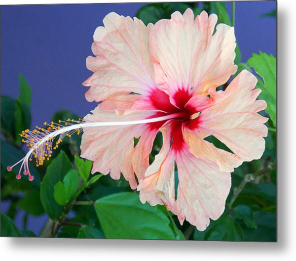 Puerto Rican Hibiscus Photograph By Liv Smith