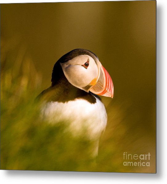 Puffin Portrait Metal Print by Wayne Bennett
