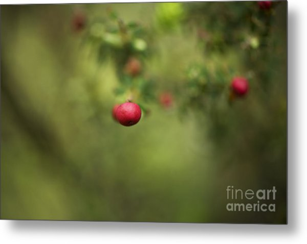 Pukiawe Berry Close-up Metal Print