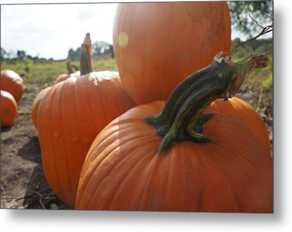 Pumkin Patch Metal Print