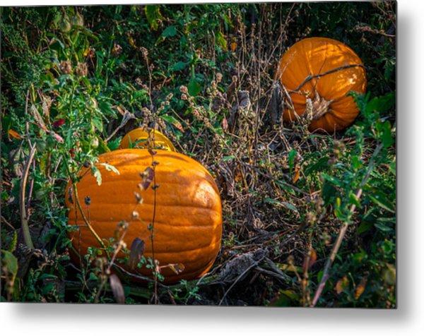 Pumpkin Patch Metal Print by Gene Sherrill