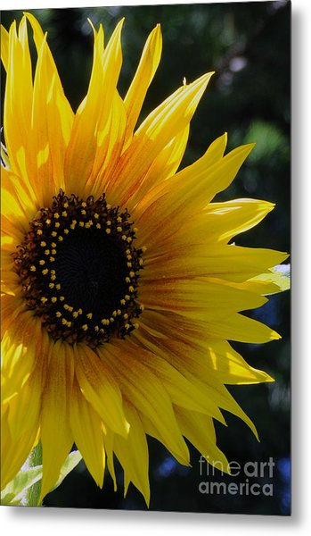 Pure Sunshine Metal Print