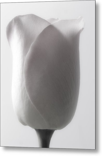 White Roses Flowers Art Work Macro Photography Metal Print